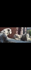 bullpei puppies (shar pei x English Bulldog)