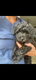 toy poodle cross puppy
