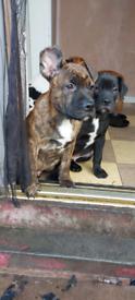 xlbully x mastiff puppys