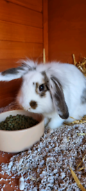 Male Rabbit For Sale To Loving Home