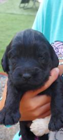 Cockapoo puppys