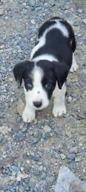Springer Cross Puppies