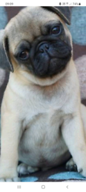 pug pup for new home due to ill health