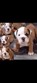 Outstanding bulldogs
