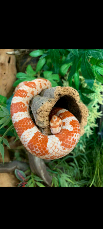 Corn Snake With Full Set Up In Sutton London Gumtree