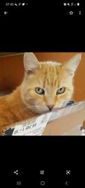 Missing ginger male cat