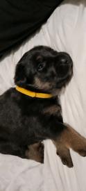 Rottweiler X German shepherd puppies