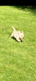 💥labrador pups 💥 !!£350!!