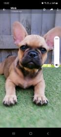 Lilac Tan French Bulldog Puppies