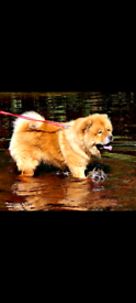 Kc registered Chow Chow pups