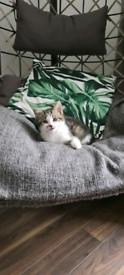 Beautiful FEMALE Russian Tabby Kitten (SOLD)