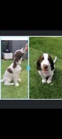 2 Stunning springer spaniel puppies