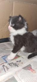 Beautiful female maine coon kitten