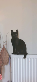 Male all Black Kitten.