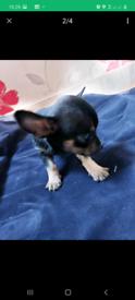 Chihuahaua pups sold