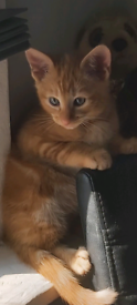 Half siamese kittens