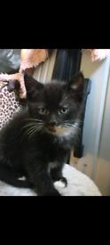 Beautiful black and white kittens