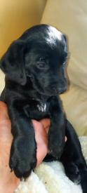 Labrador /collie 7 weeks old