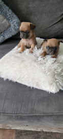 Blue fawn frugs puppies for sale