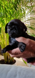 Pugs available only 2 females left