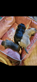 3Chihuahua puppy's for sale