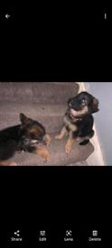 Only 2 girls left!! German shepherd puppies