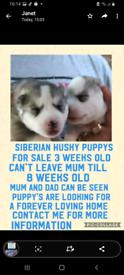 Siberian huskies poppy