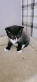 5 week old kittens £500