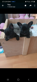 For sale French bulldog puppies ready soon