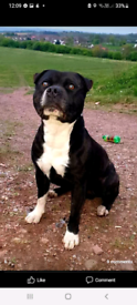 3 year old male Staffordshire bull terrier