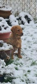 Red labrador dog still avalible