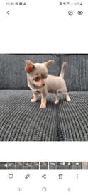 Smooth coat chihuahua pup lilac and tan