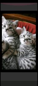 British shorthair x silver Bengal kittens