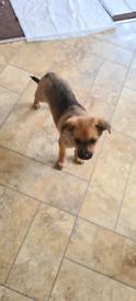 Corgi x shitzhu puppy