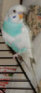 Female Budgie