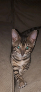 Male tica registered Bengal ready to go soon