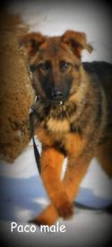 German Shepherd puppy 5-months old