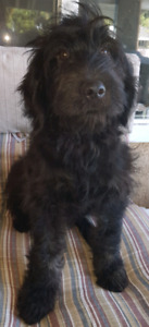Mini Bernedoodles one gorgeous boy left.