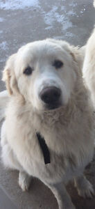 Great Pyrenees Mix For Sale