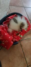 Miniture Pomeranian puppy