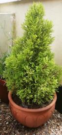 Medium size outdoor tree! Shrub in a terracotta pot.