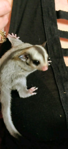 One sugar glider left!