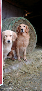 Golden Retriever Pups: Farm and Family Raised