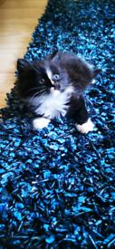 Beautiful kittens ready now