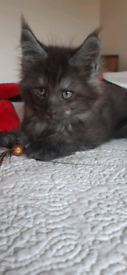 Pedigree Maine Coon Kitten Male - Black and Silver