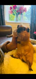 Guinea Pigs: urgent must go now