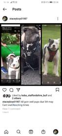 Kc reg staffordshire bull terrier pups