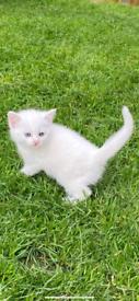 Kittens 2 left
