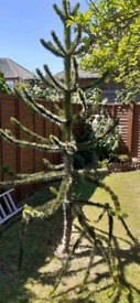 Thriving 9ft Monkey Puzzle Tree