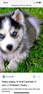 Pomsky Breeder needed